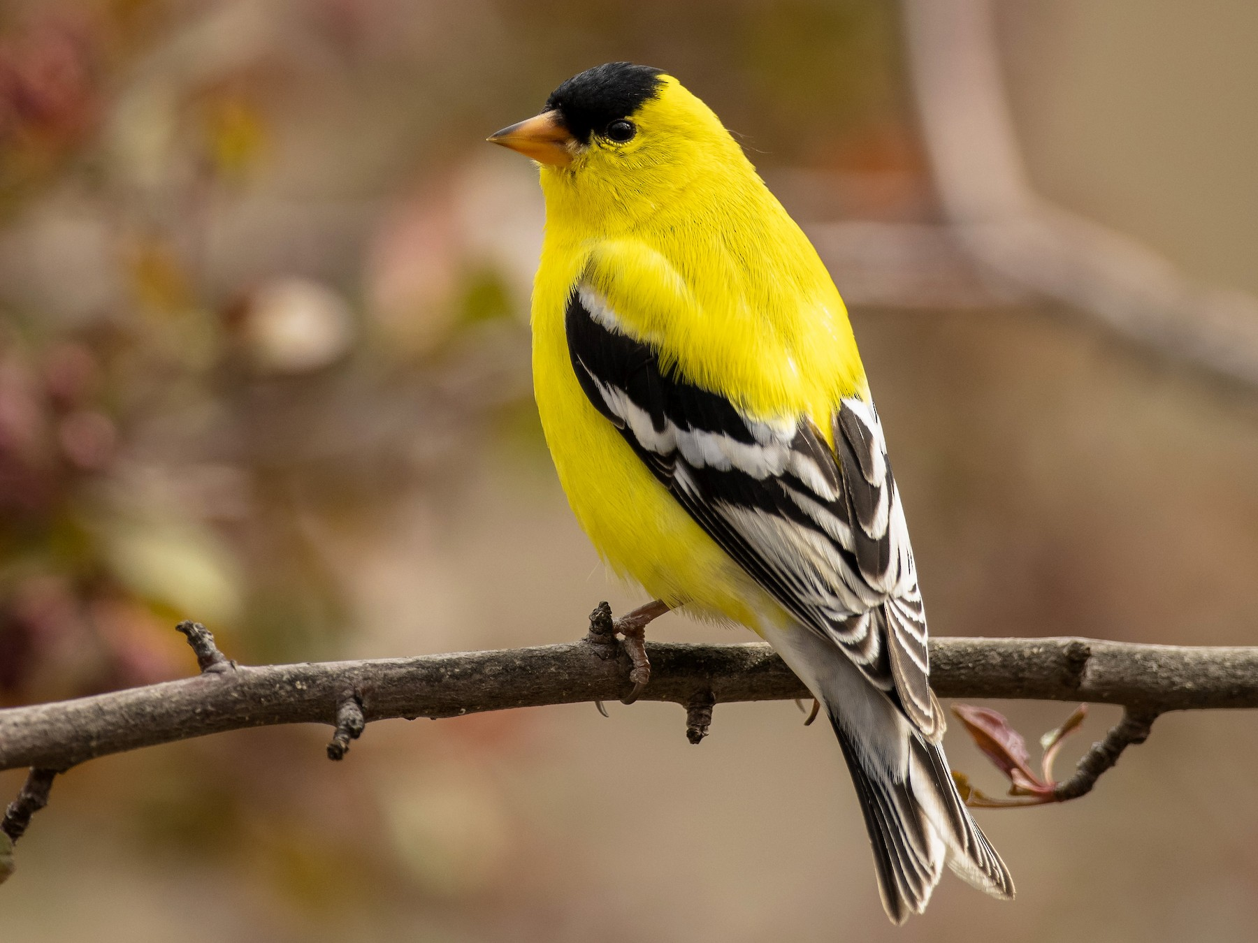 American Goldfinch - Ian Routley