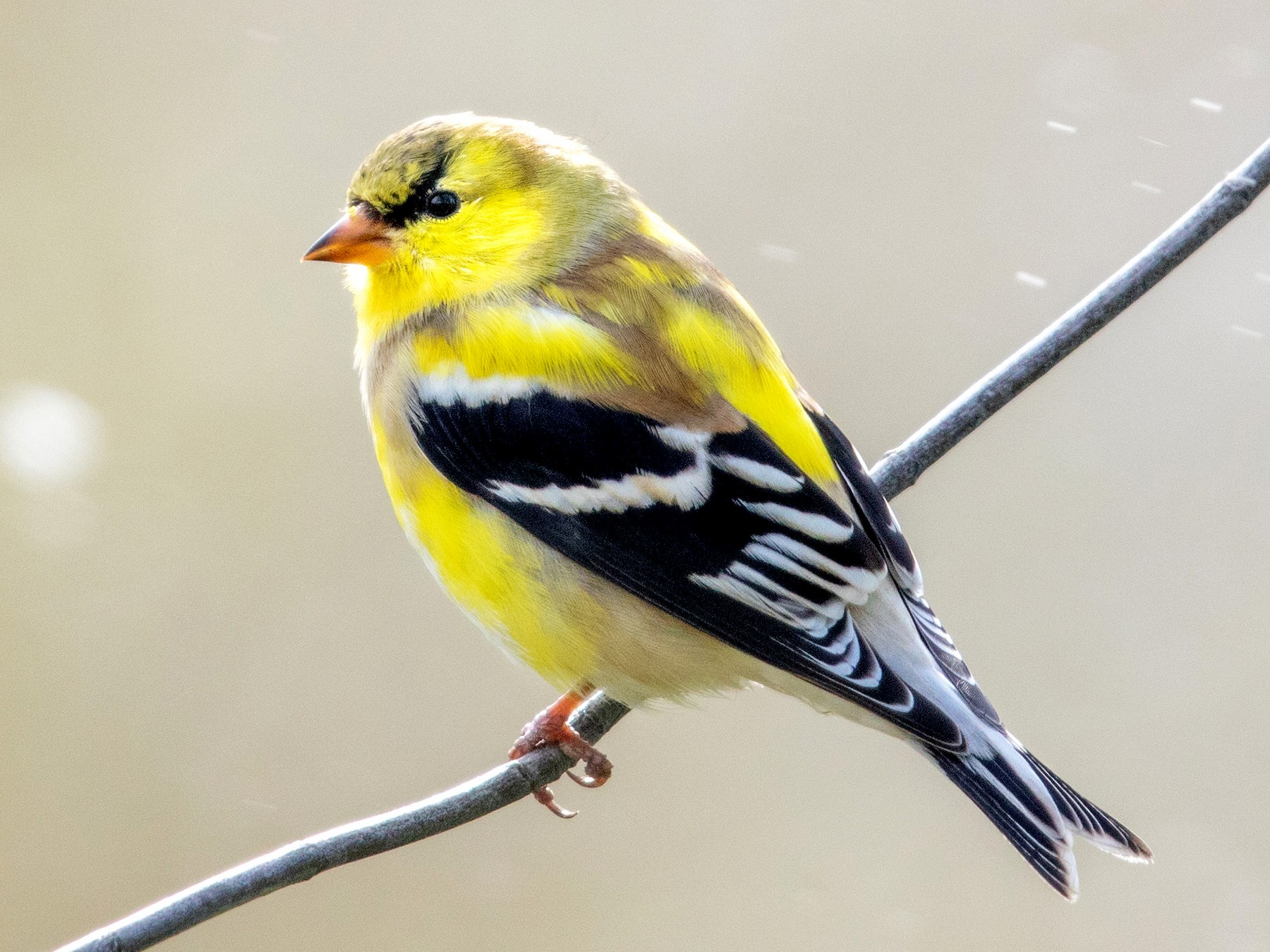 American Goldfinch - Tony Dvorak