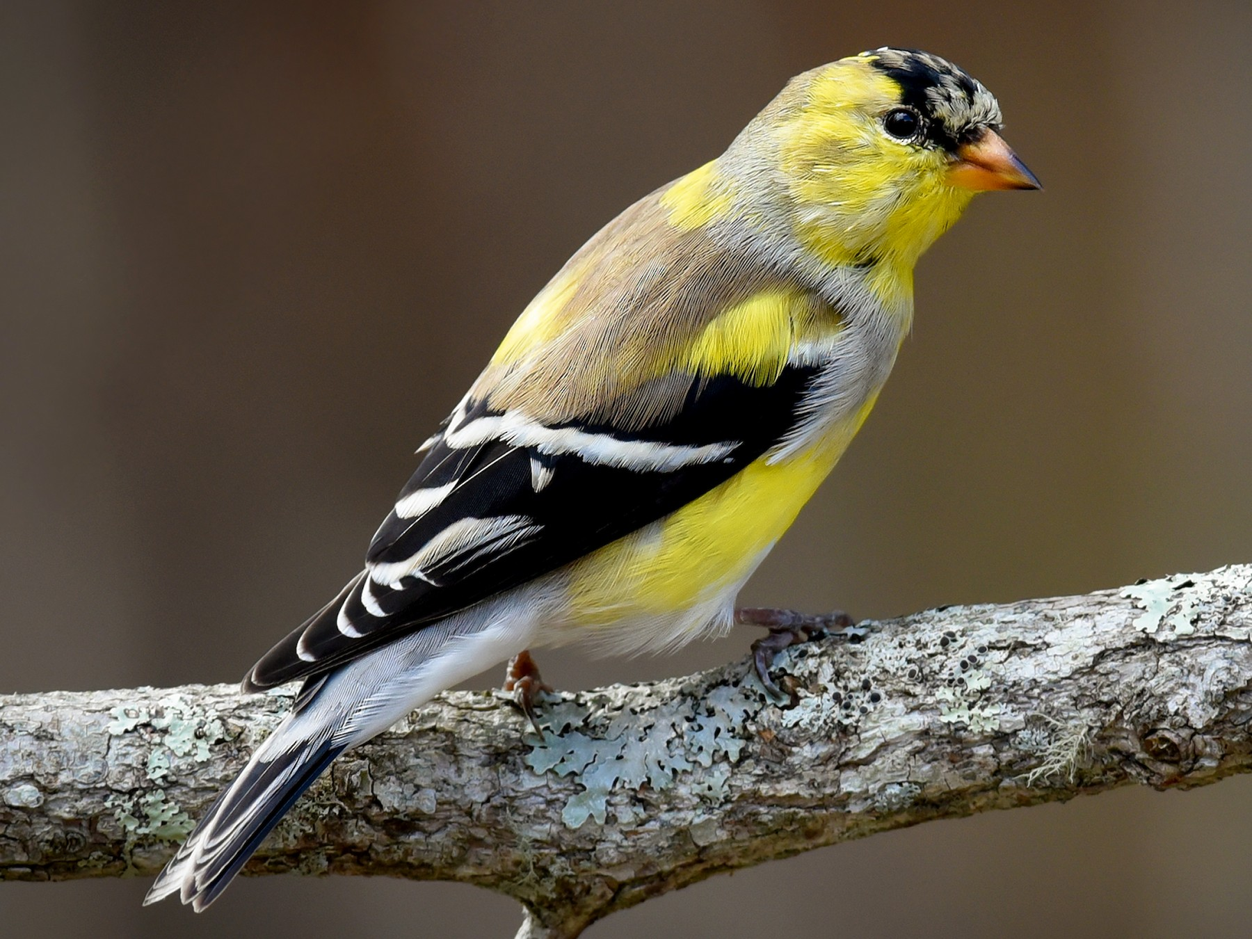 American Goldfinch - Scott Martin