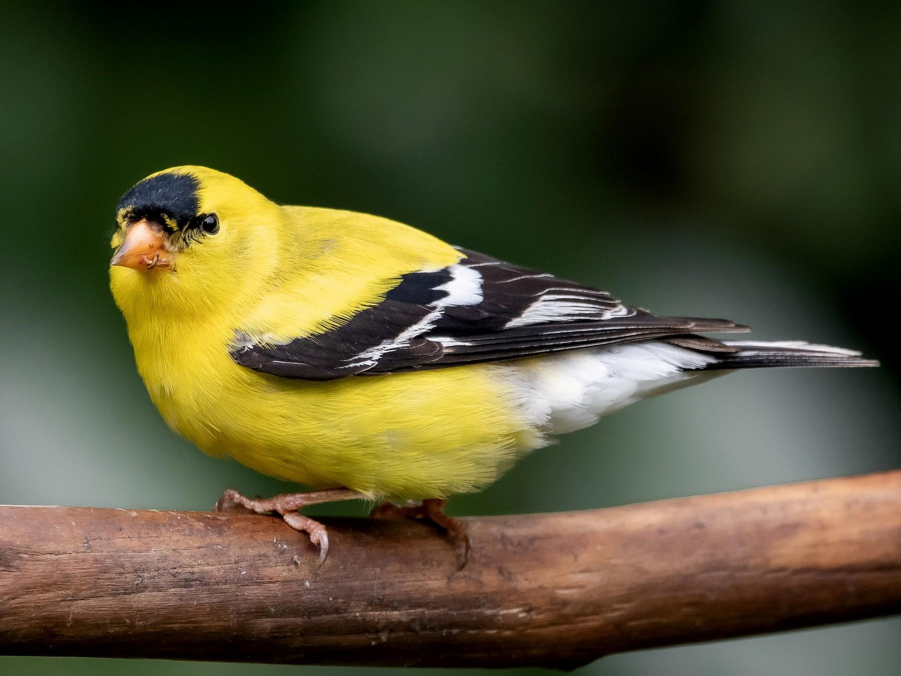American Goldfinch - Mason Maron