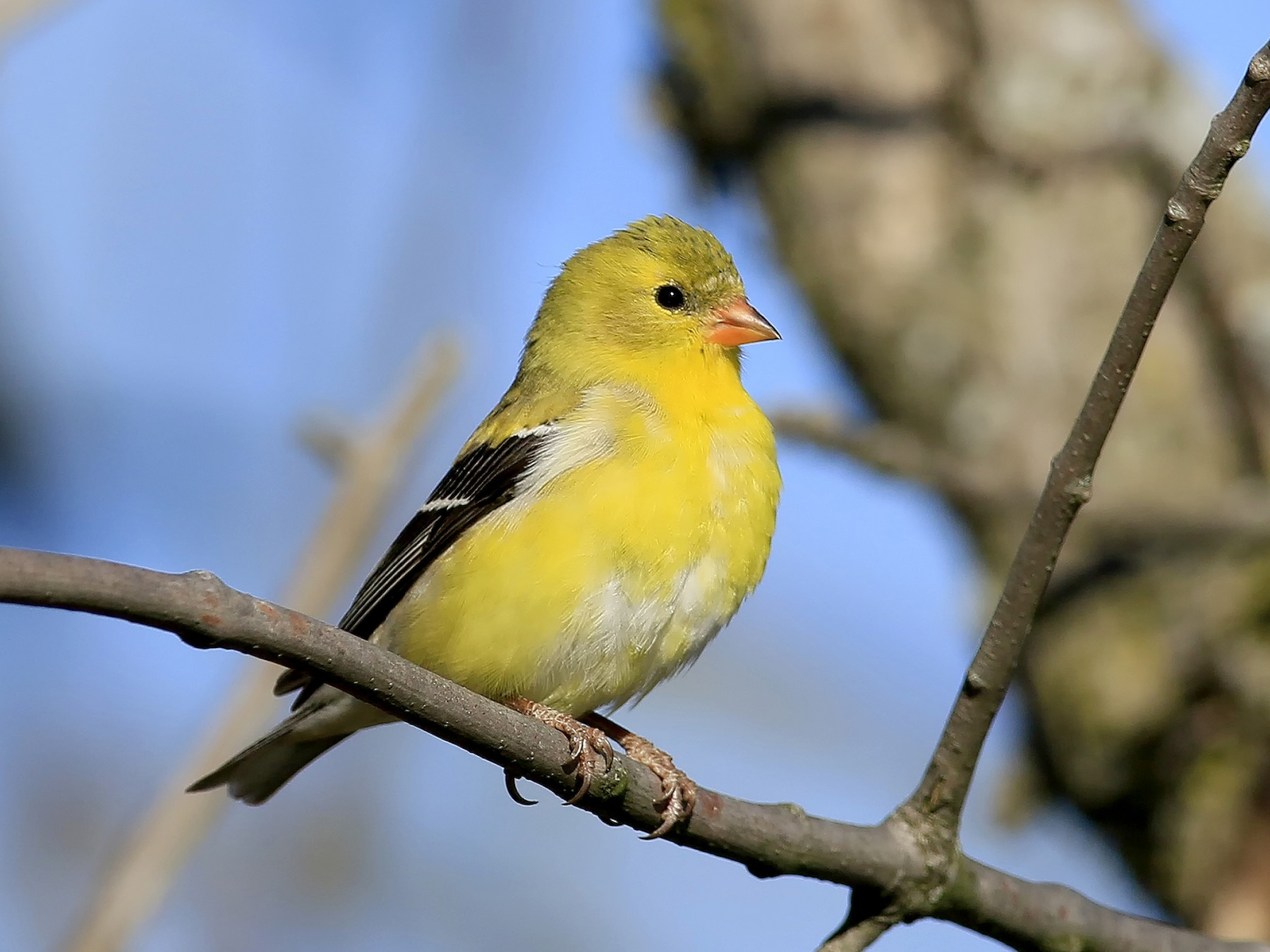 American Goldfinch - Don Blecha