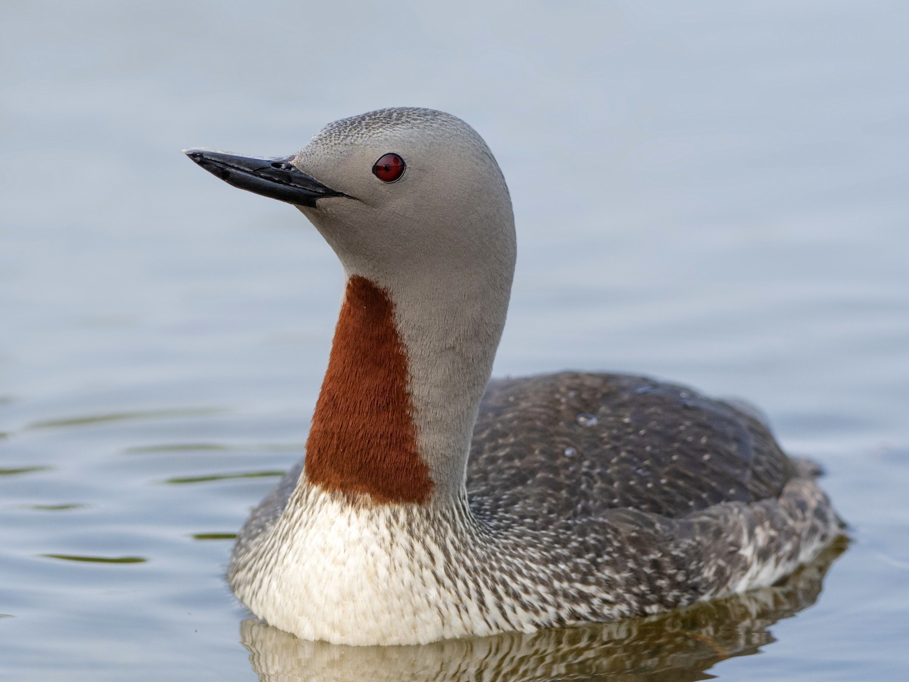 Red-throated Loon - Bryan Calk