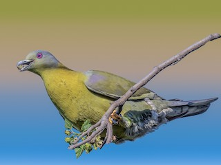 - Yellow-footed Green-Pigeon