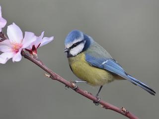 - Eurasian Blue Tit