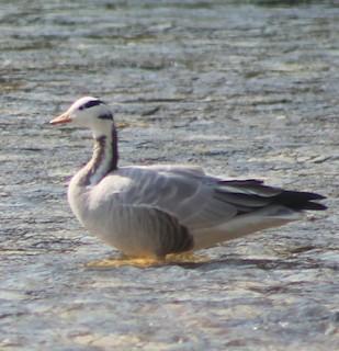 Bar-headed Goose, ML306995691