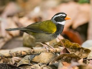 - Orange-billed Sparrow