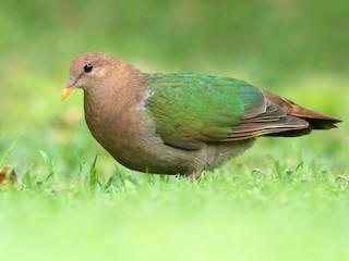 - Pacific Emerald Dove