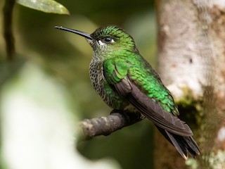 - Green-crowned Brilliant