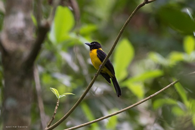 Black-throated Shrike-Tanager