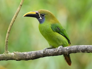 - Northern Emerald-Toucanet