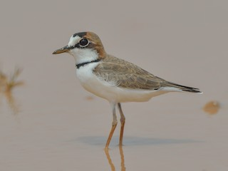 - Collared Plover