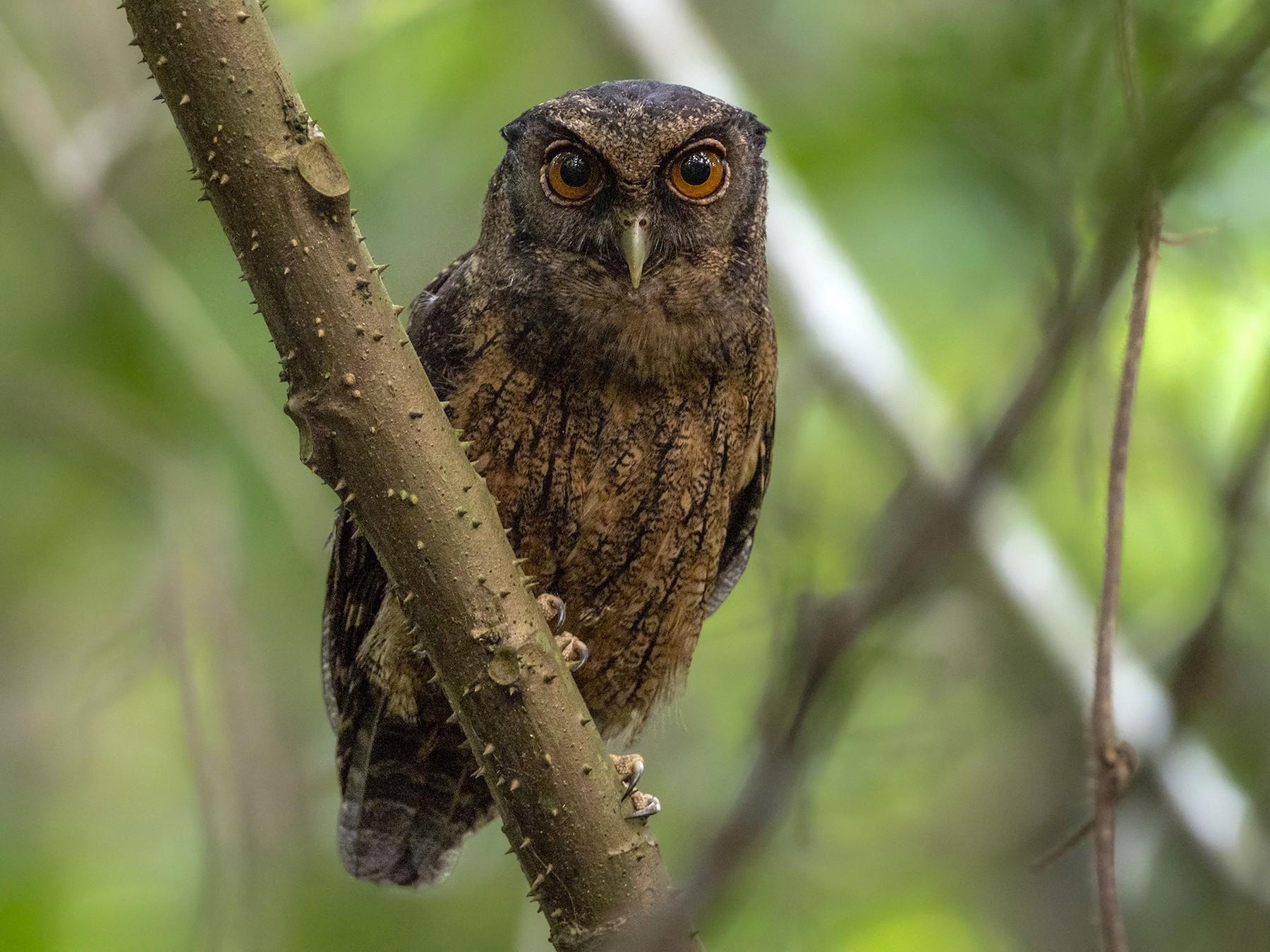 Tawny-bellied Screech-Owl - Andres Vasquez Noboa - Tropical Birding Tours