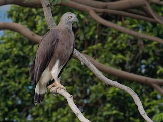 - Gray-headed Fish-Eagle