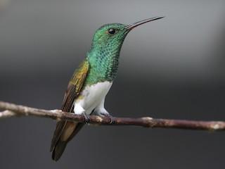 - Snowy-bellied Hummingbird