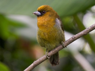 - Prong-billed Barbet