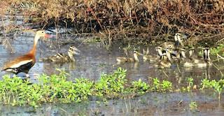 Black-bellied Whistling-Duck, ML30745121