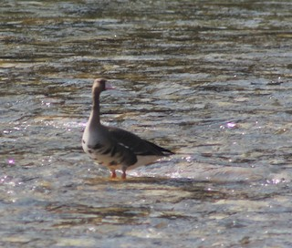 Greater White-fronted Goose, ML307468111