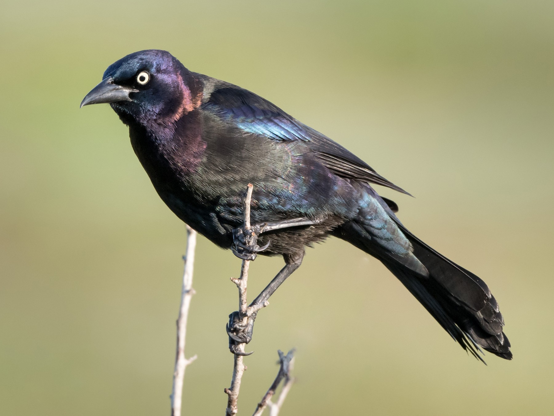 Common Grackle - Melissa James