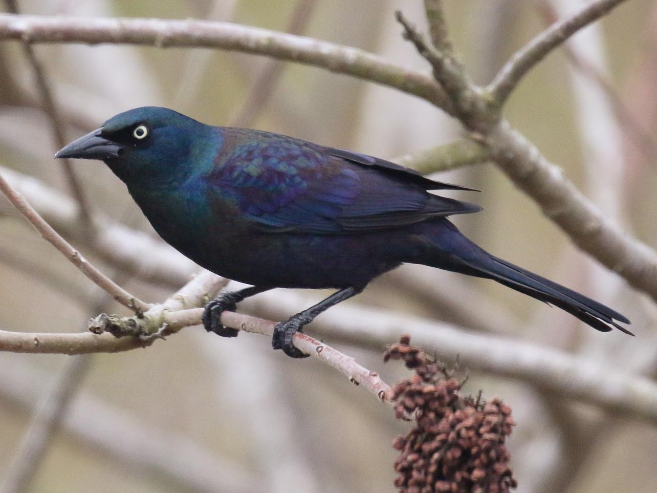 Common Grackle - Michael O'Brien
