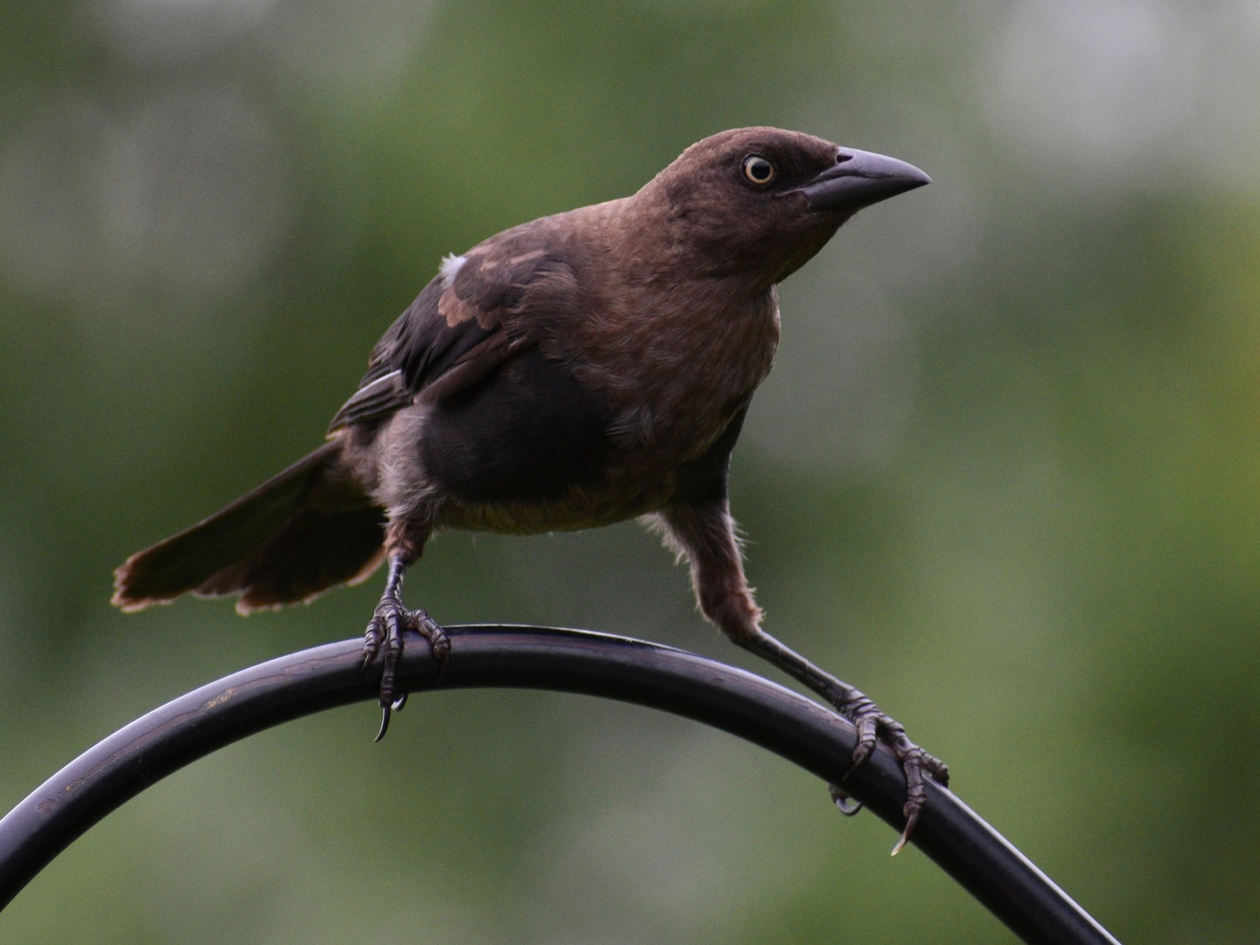 Common Grackle - Maxima Gomez-Palmer