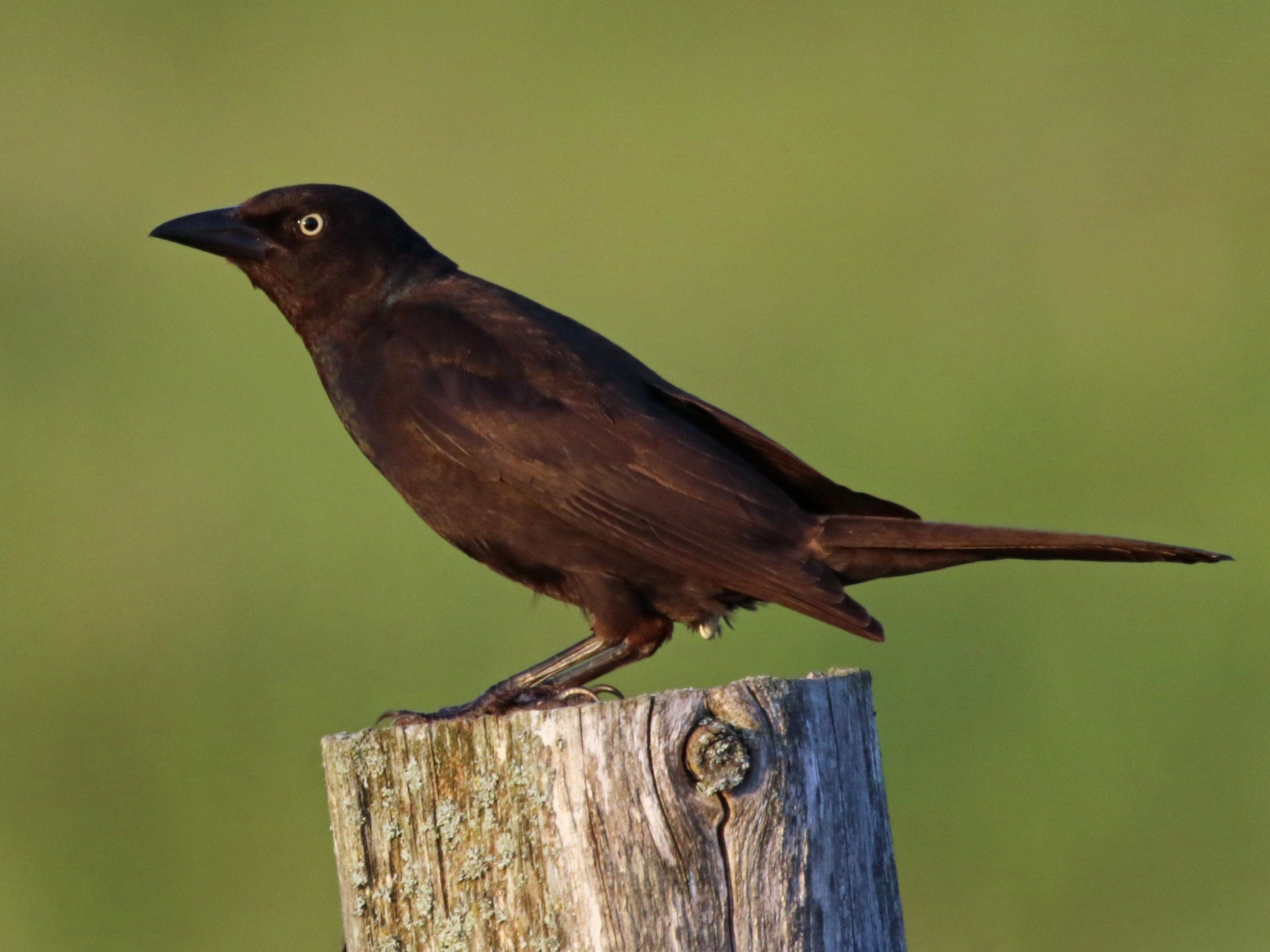 Common Grackle - Ida & Carlos Furtado