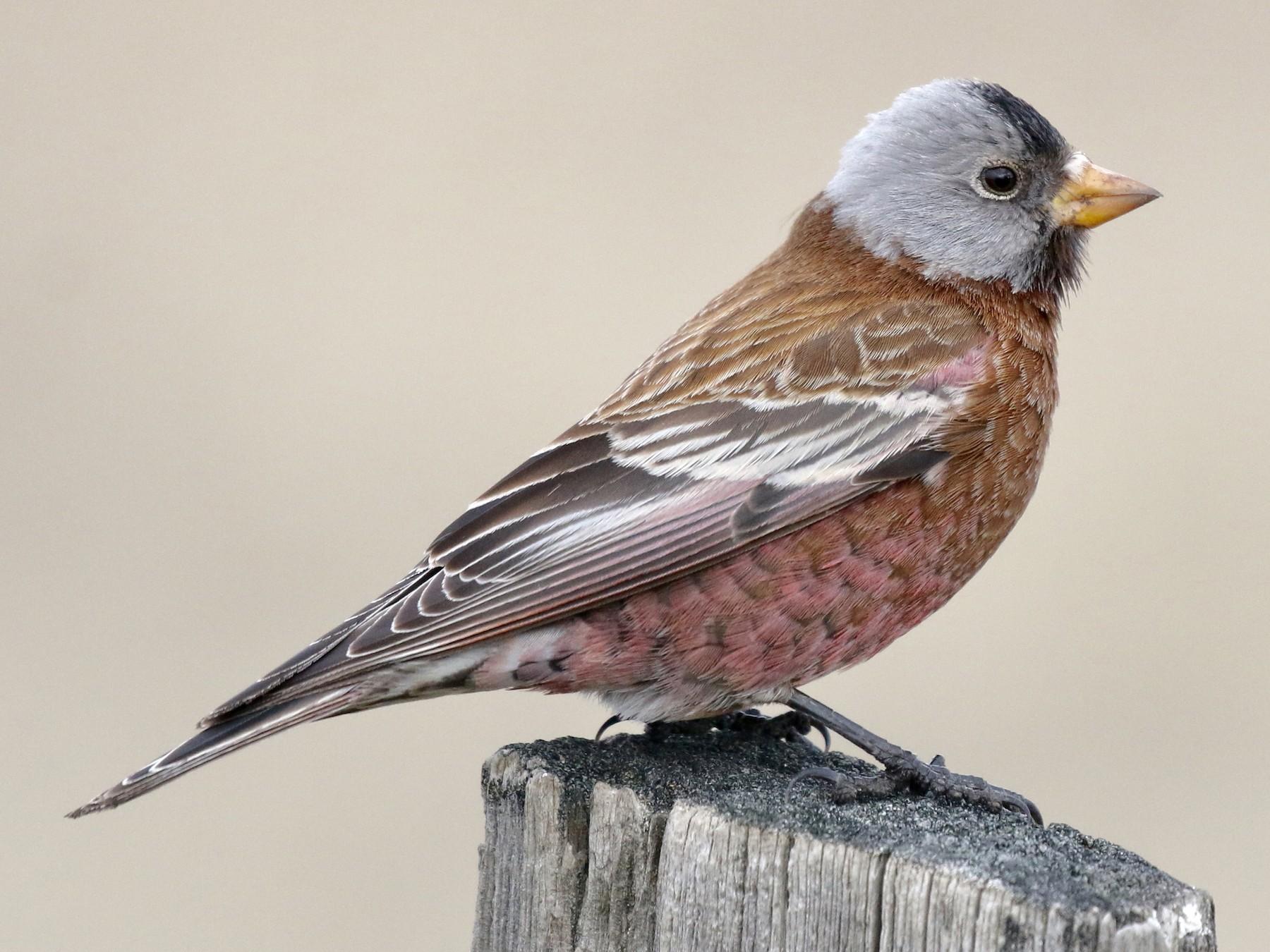 Gray-crowned Rosy-Finch - Russ Morgan