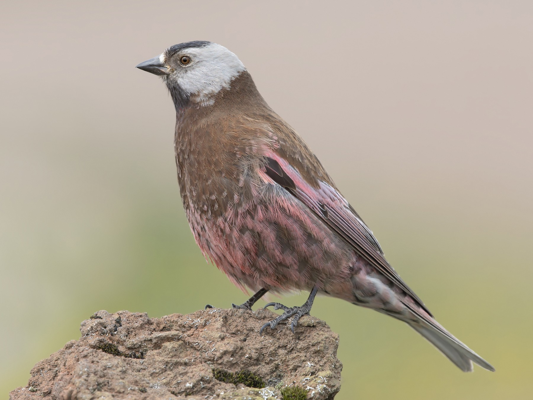 Gray-crowned Rosy-Finch - Marco Valentini