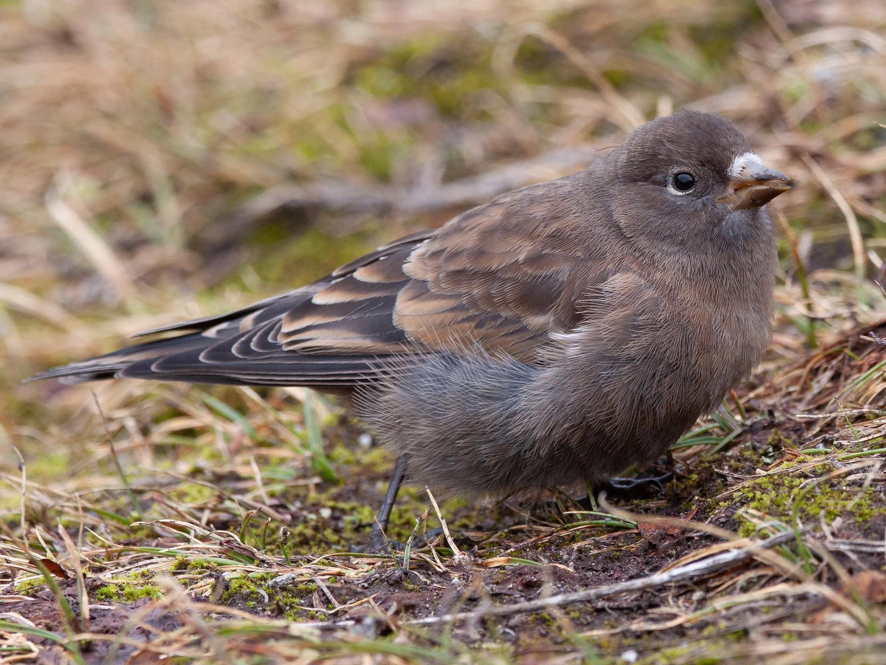 Gray-crowned Rosy-Finch - Josh Adams