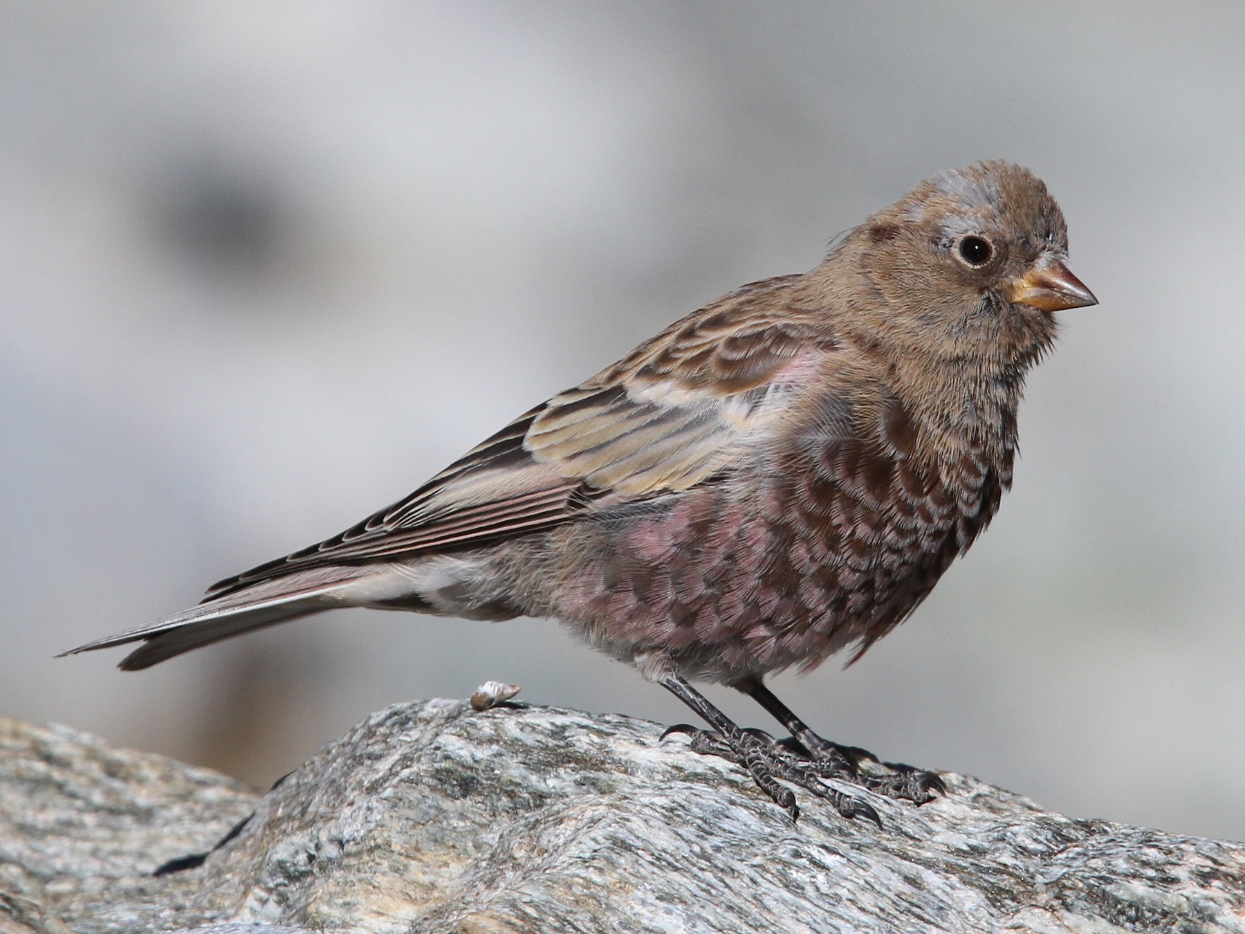 Gray-crowned Rosy-Finch - Christoph Moning