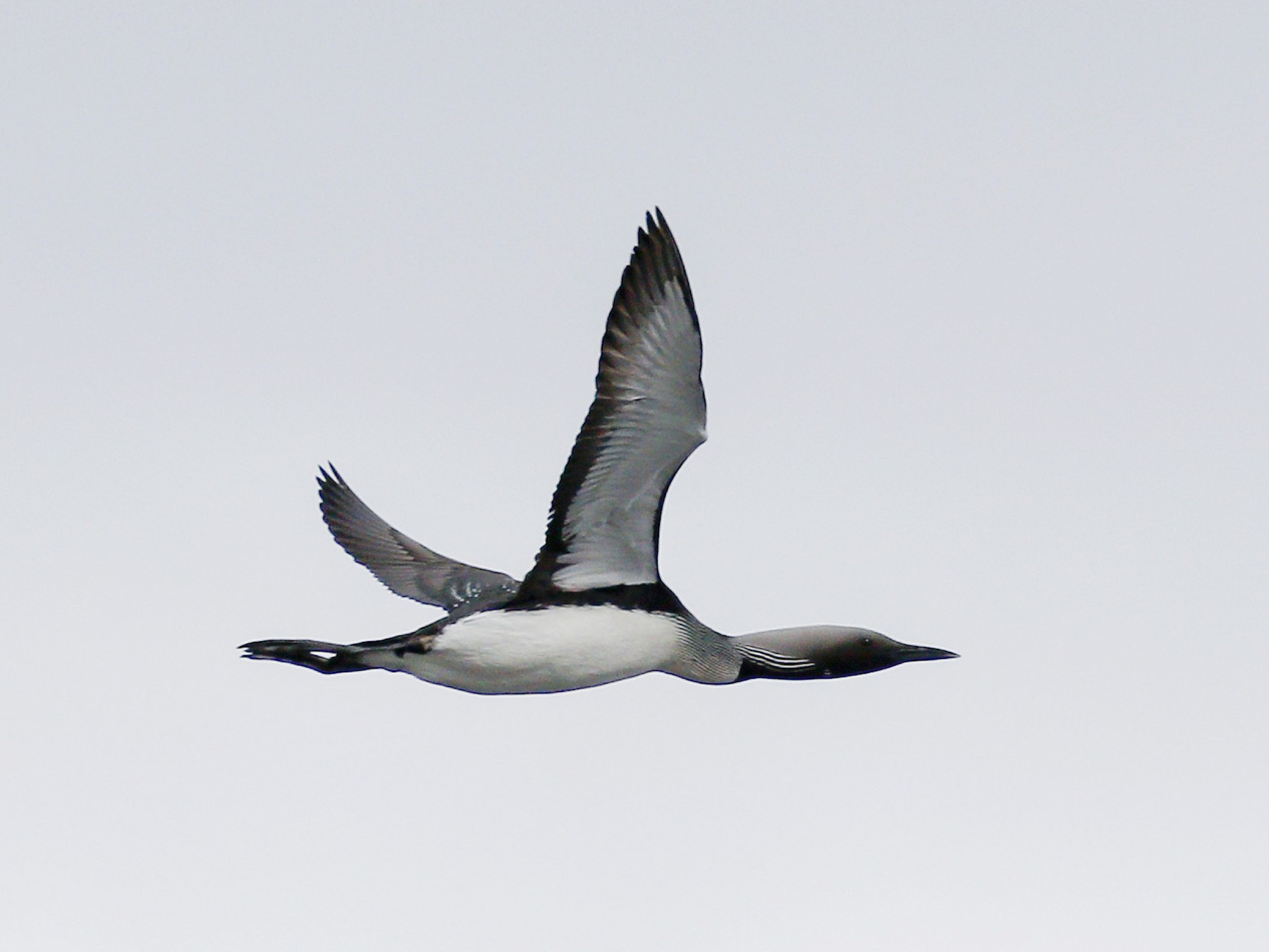 Arctic Loon - James Kennerley 🦄