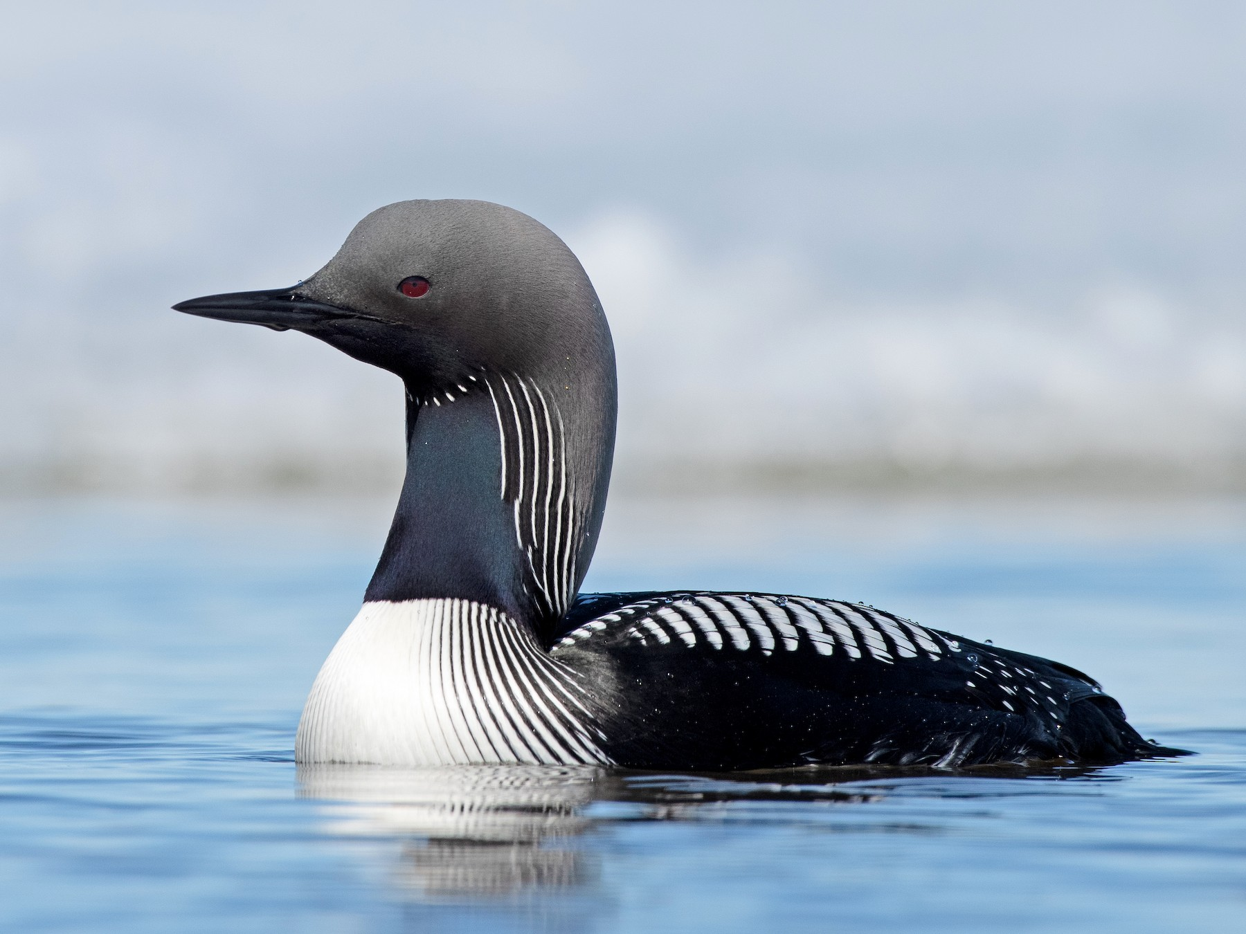 Pacific Loon - Tyler Ficker