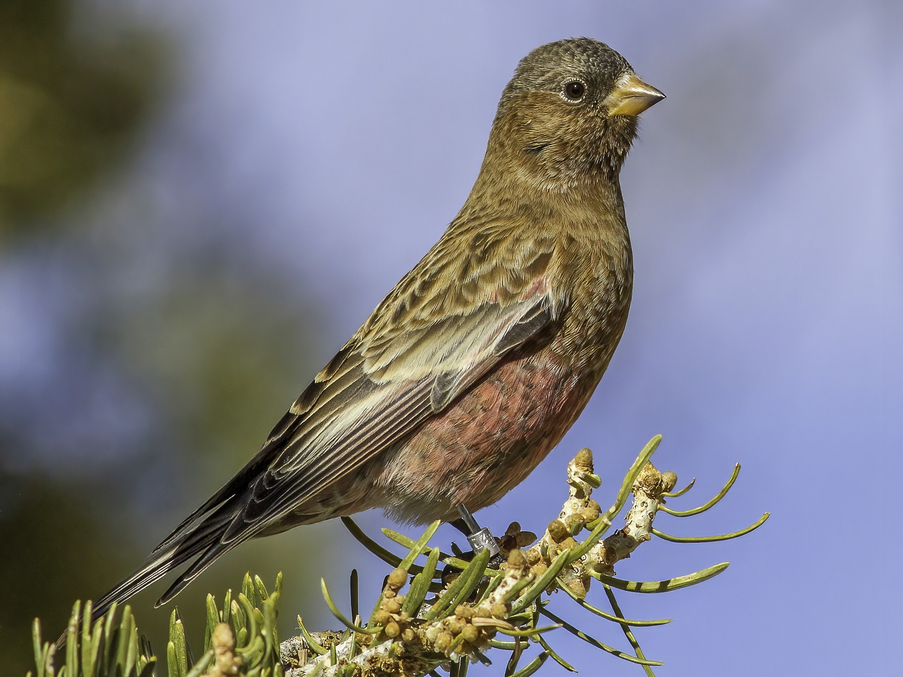 Brown-capped Rosy-Finch - Jacob Drucker