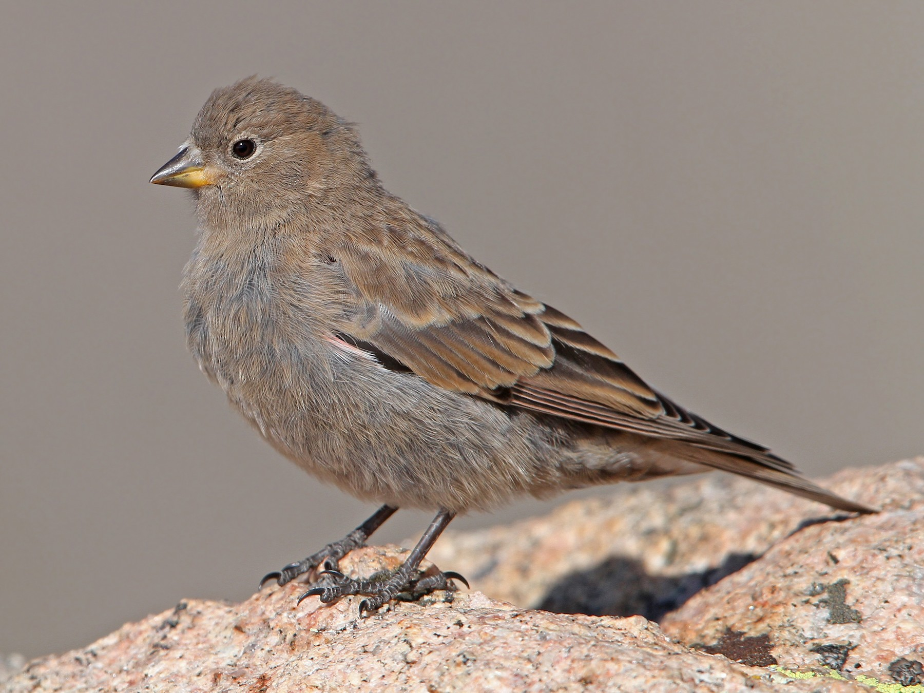 Brown-capped Rosy-Finch - Christoph Moning