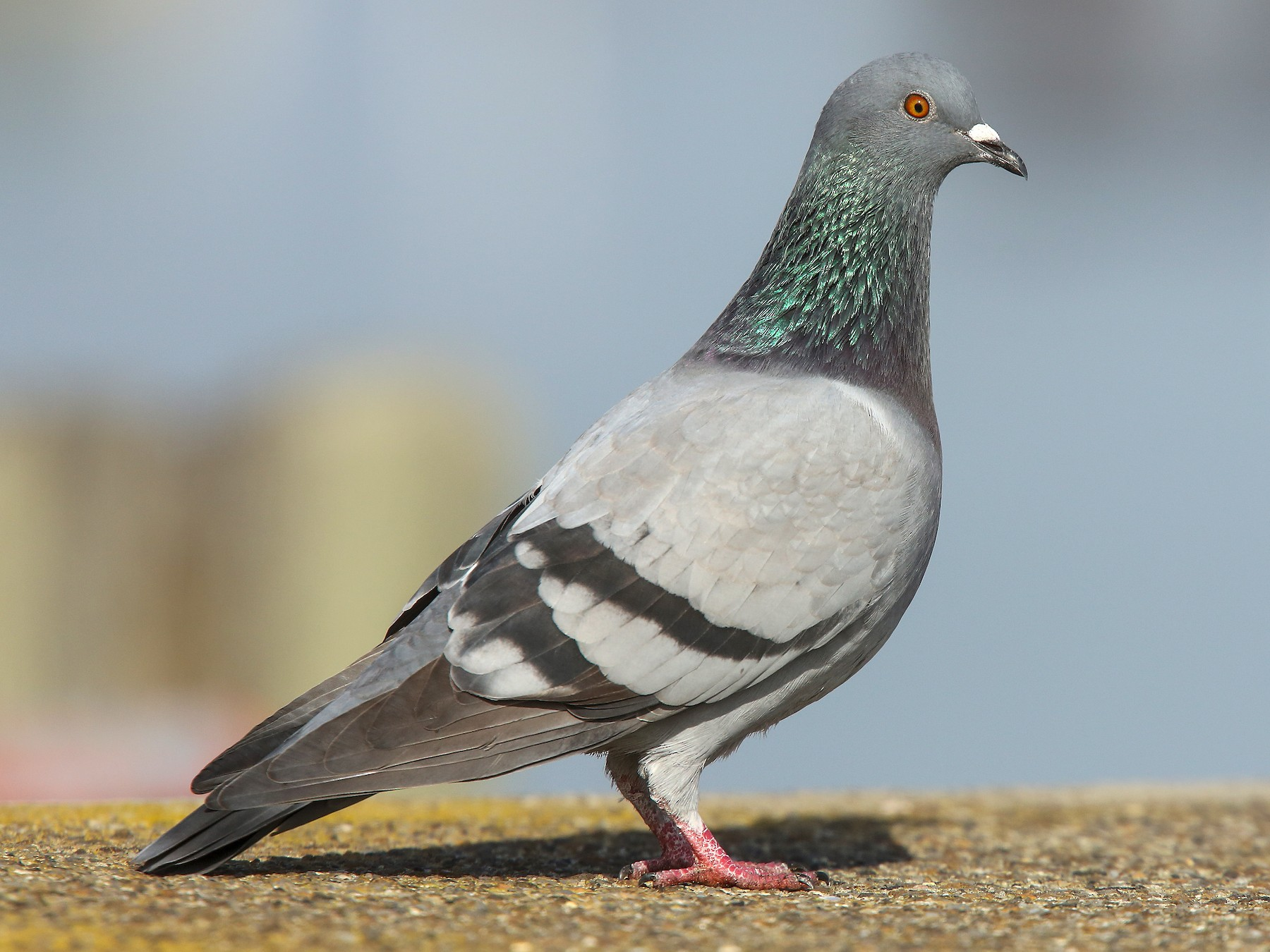 Rock Pigeon - Luke Seitz