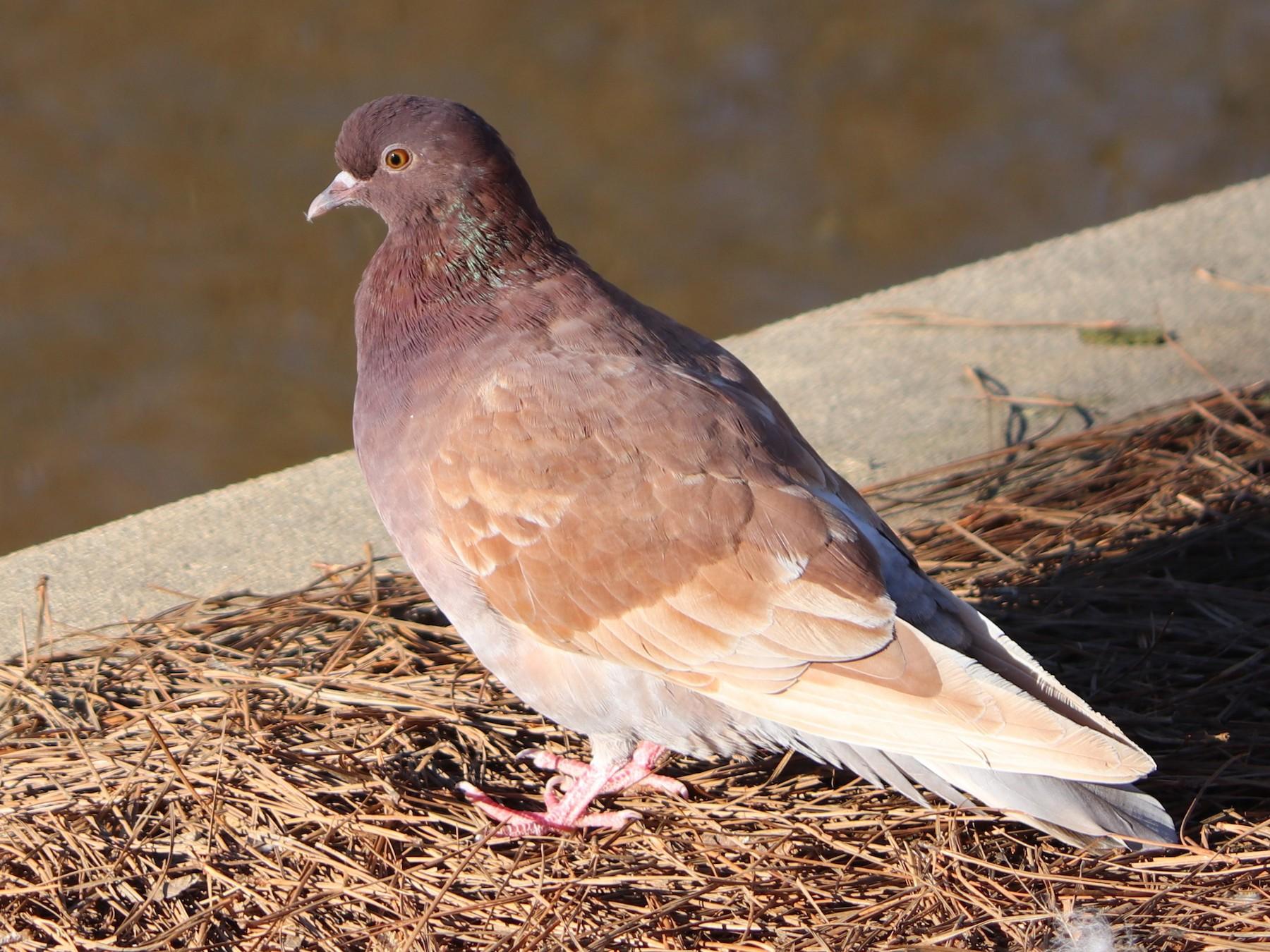 Rock Pigeon - Bob Myers