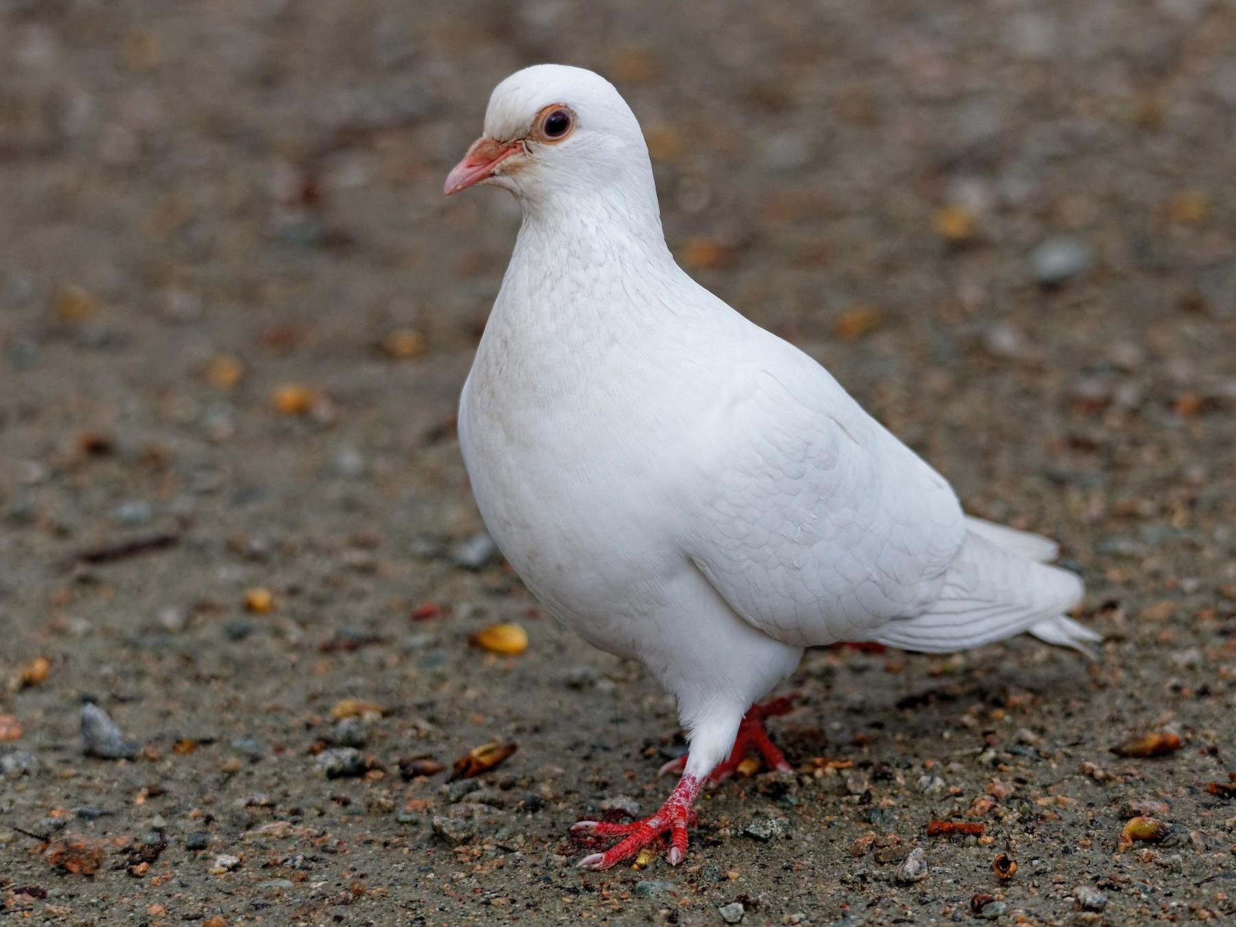 Rock Pigeon - Hui Sim