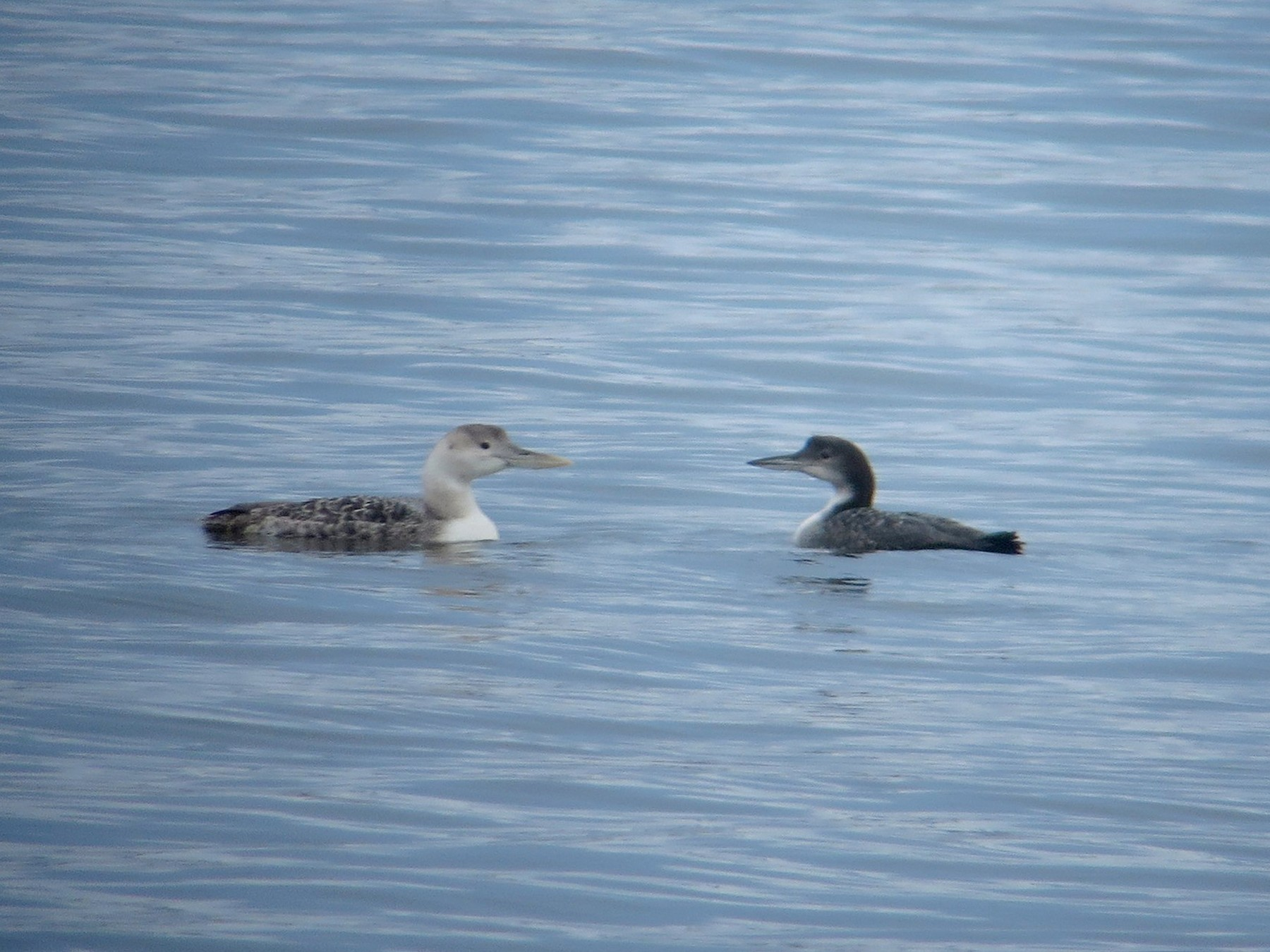 Yellow-billed Loon - Kathy Mihm Dunning