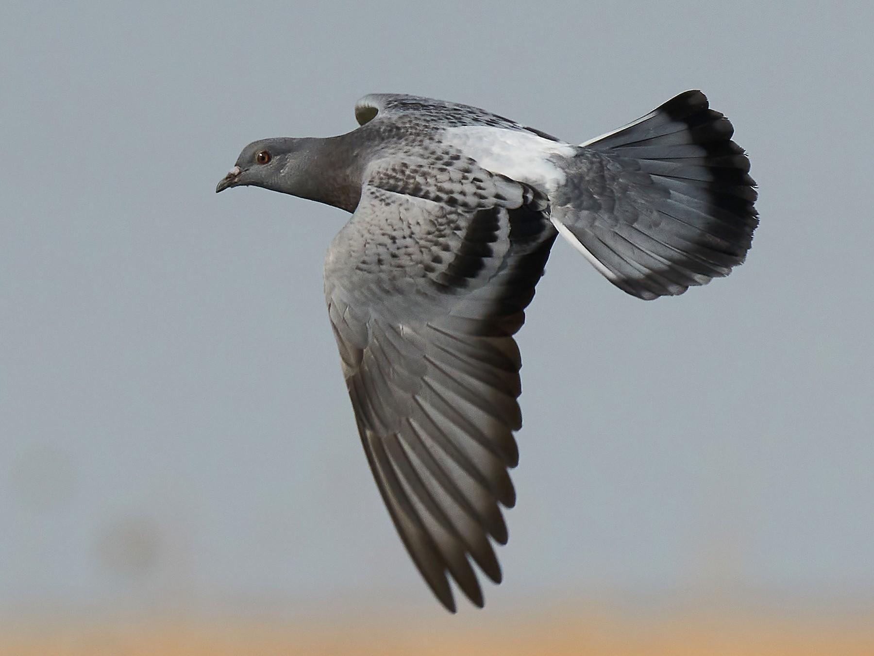 Rock Pigeon - Miguel Rouco