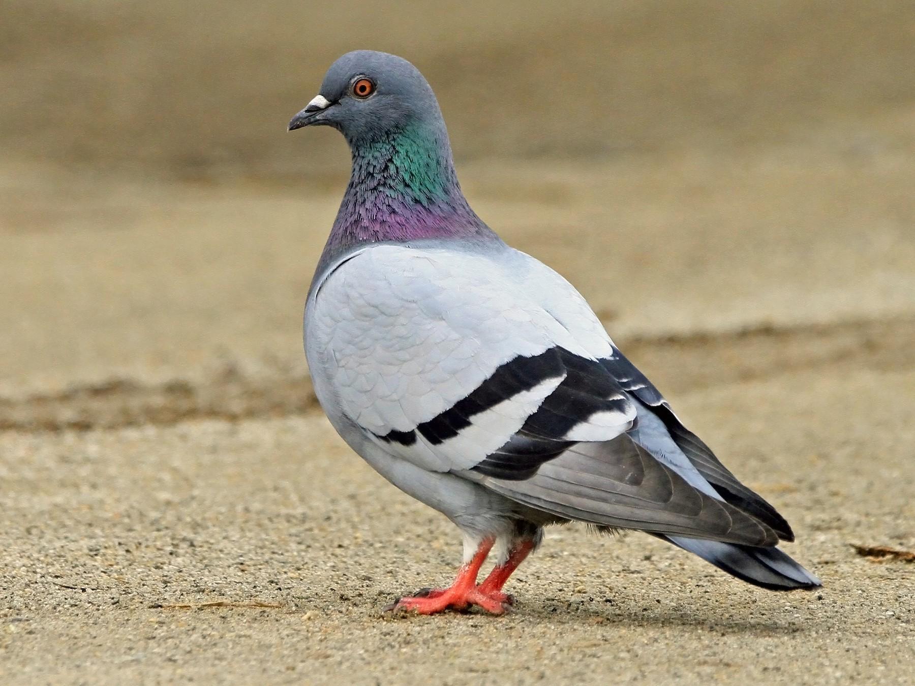 Rock Pigeon - Christine Sheridan