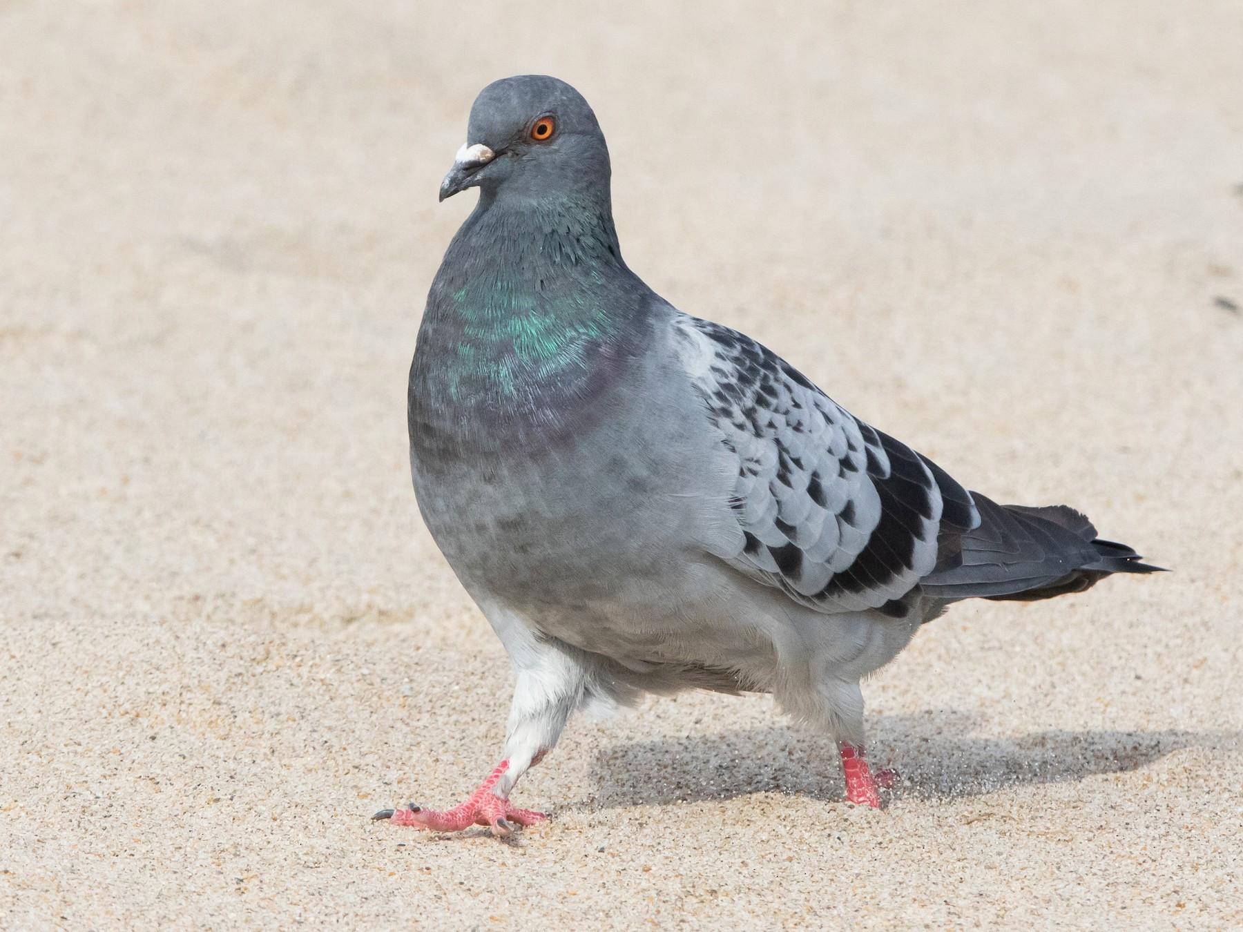 Rock Pigeon - Sam Zhang