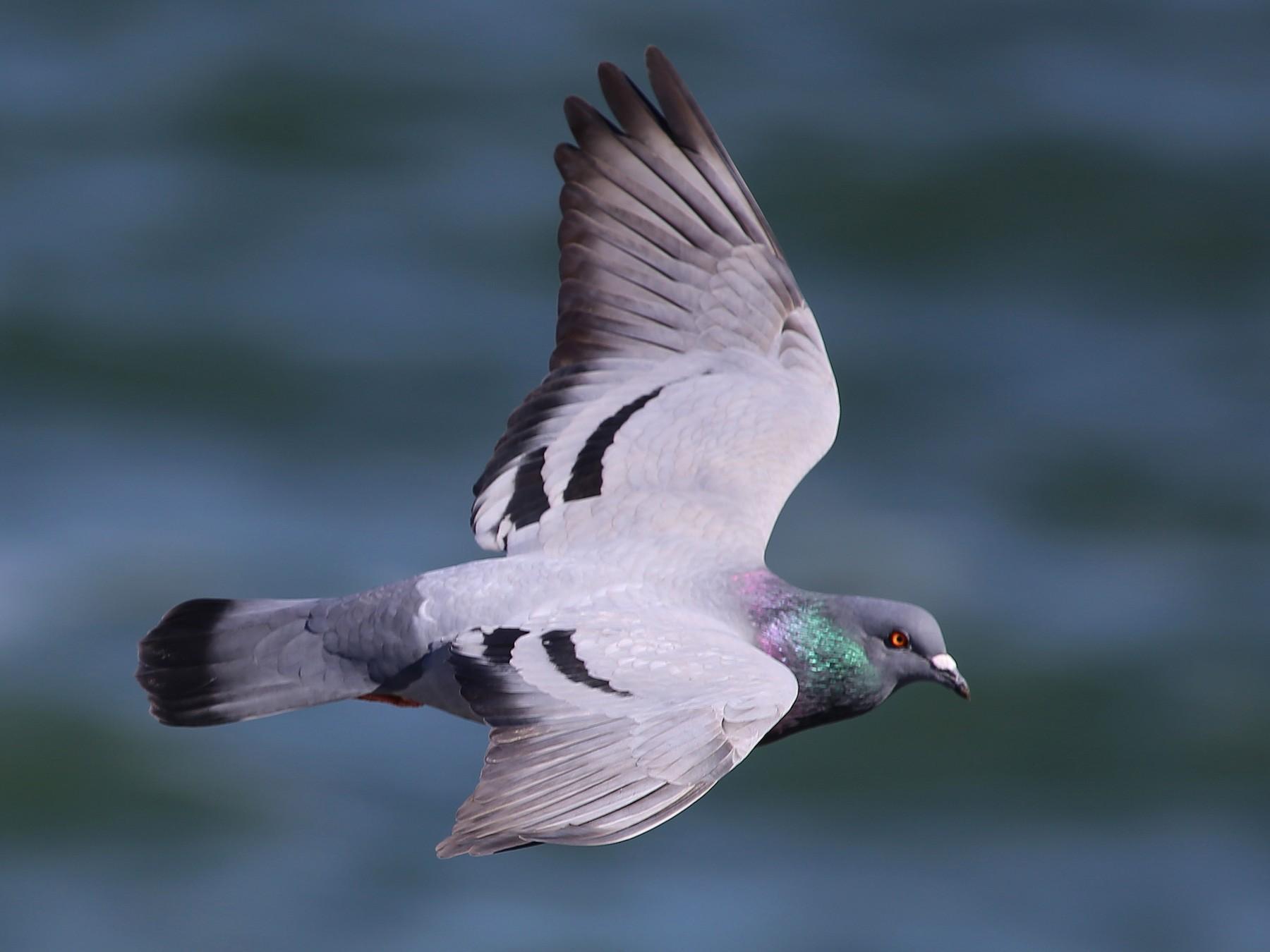 Rock Pigeon - Rob Bielawski