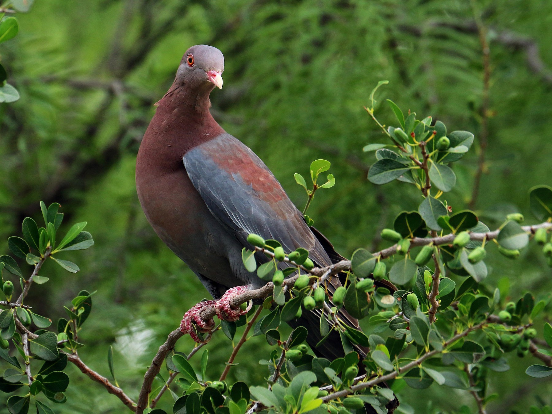 Red-billed Pigeon - Shelby  Birch