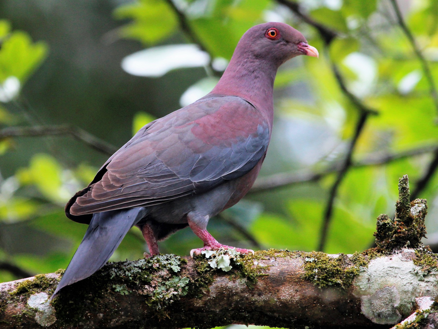 Red-billed Pigeon - Isaias Morataya