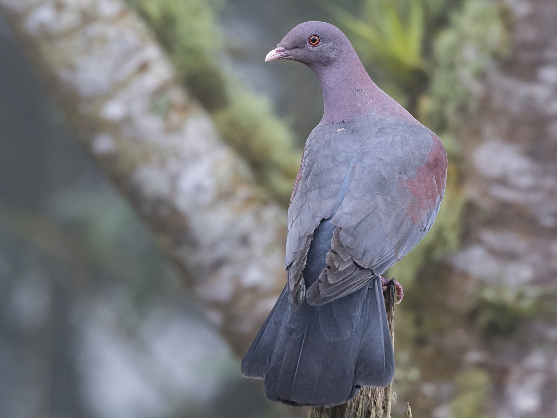 Red-billed Pigeon - fernando Burgalin Sequeria