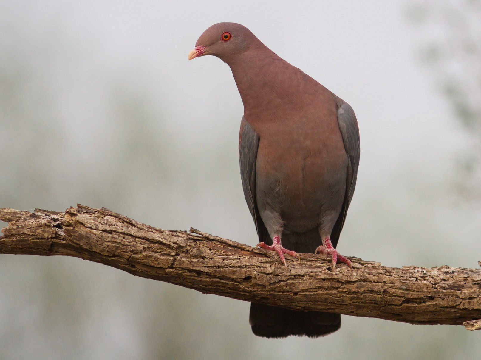 Red-billed Pigeon - Luke Tiller