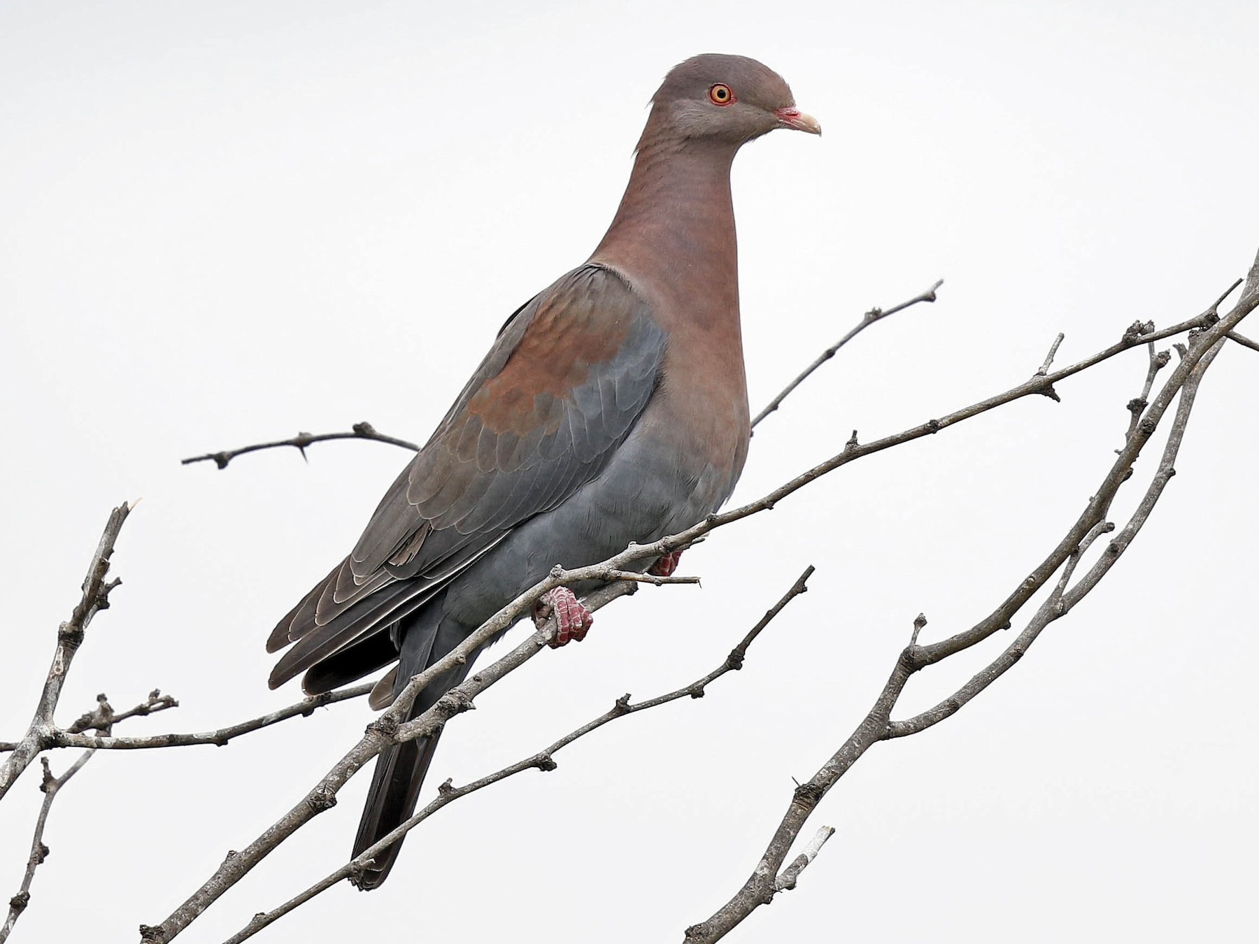 Red-billed Pigeon - Tammy McQuade