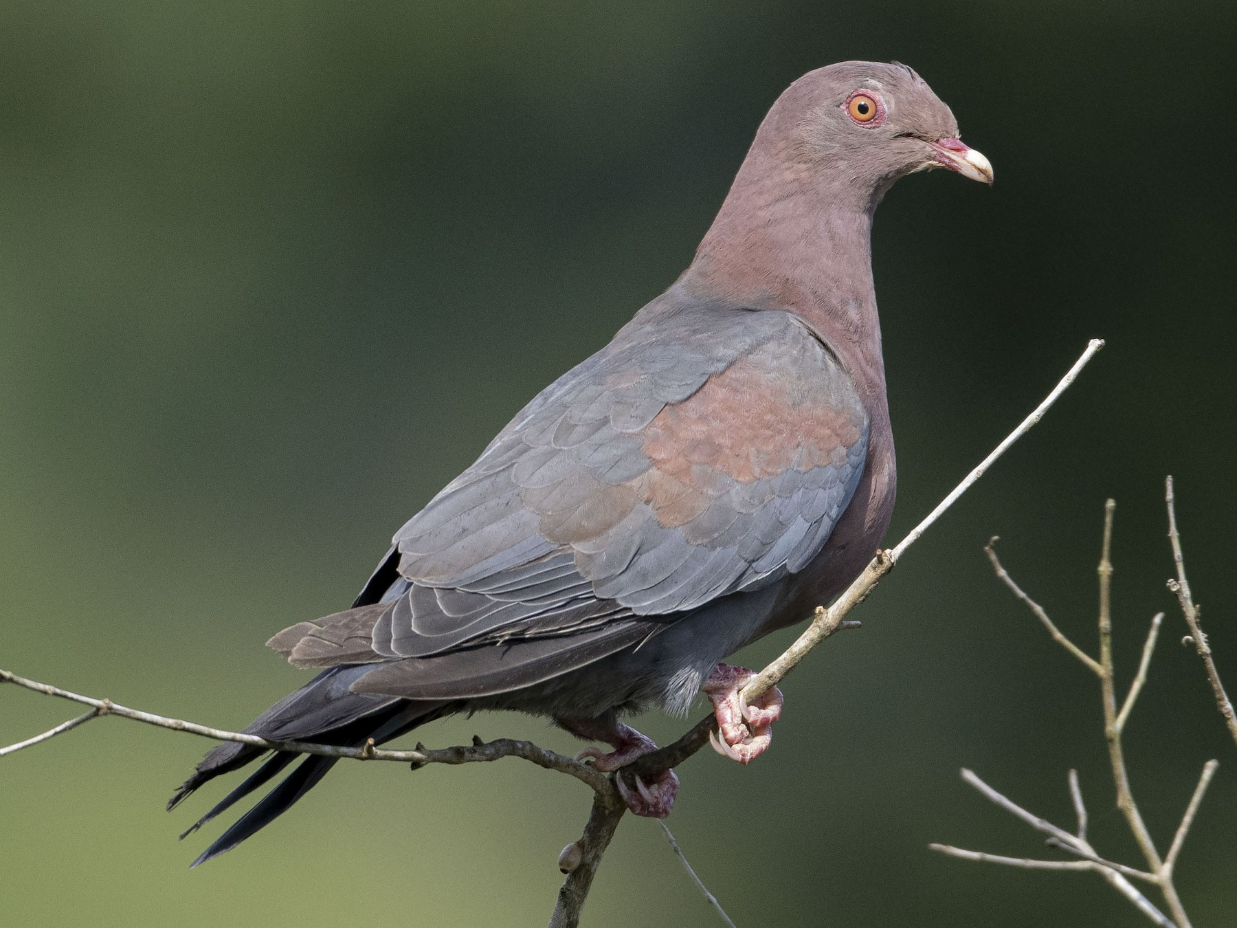 Red-billed Pigeon - Guillermo  Saborío Vega