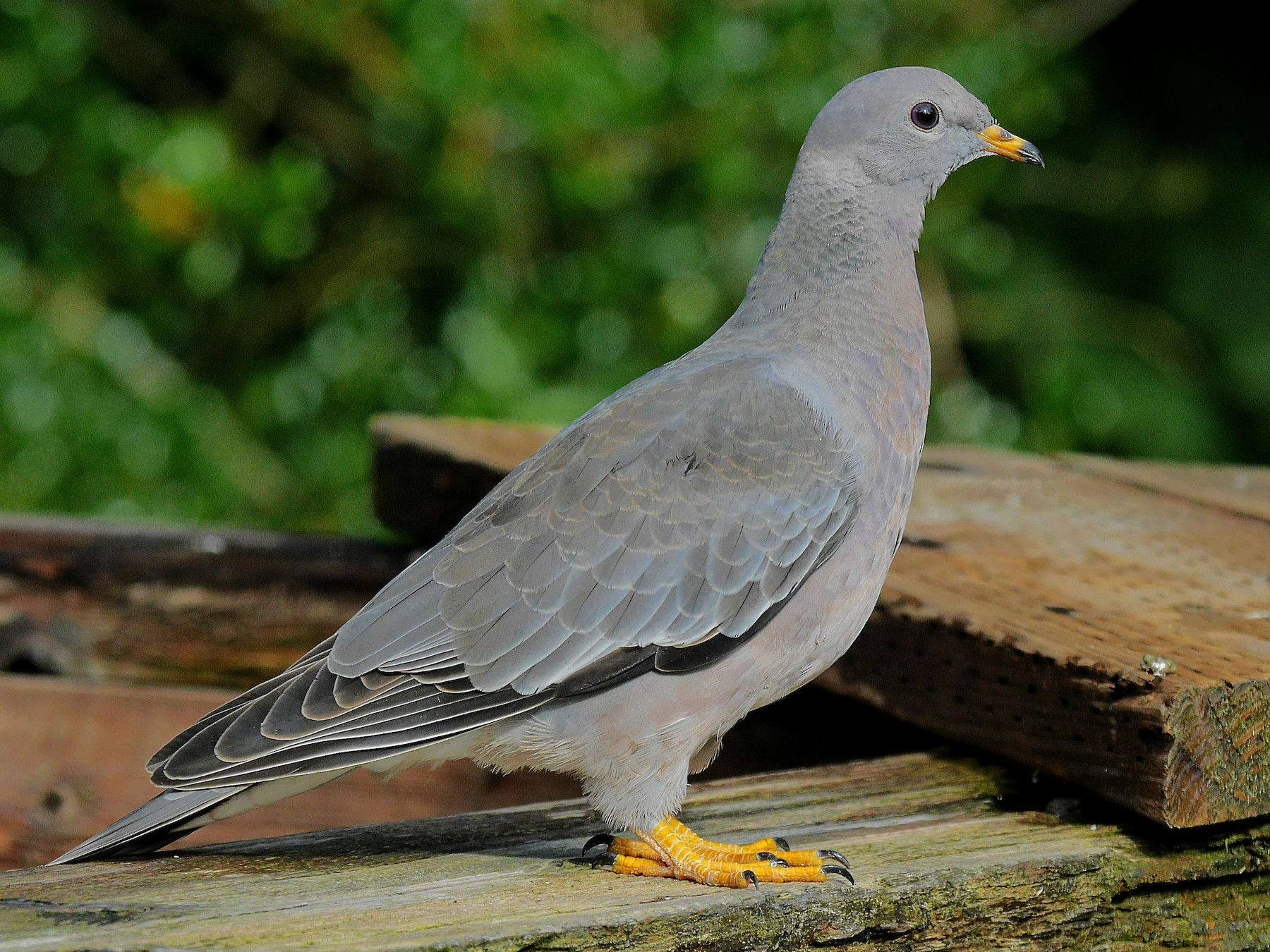 Band-tailed Pigeon - Grace Oliver