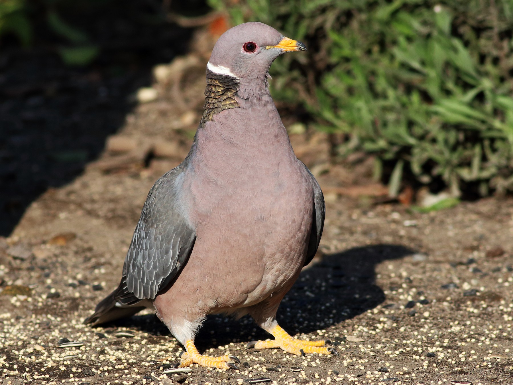Band-tailed Pigeon - Paul Fenwick