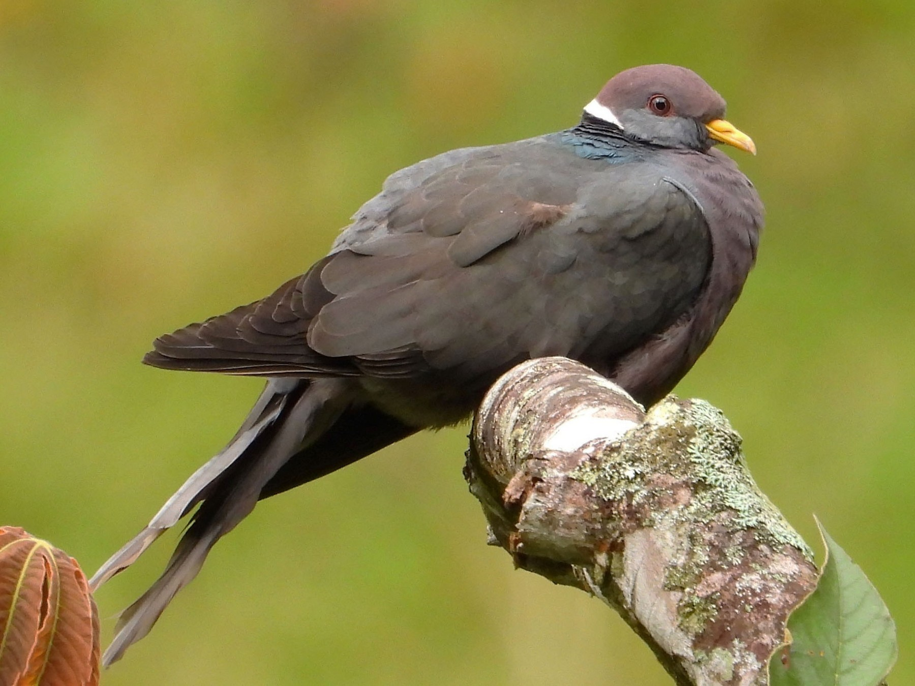 Band-tailed Pigeon - Juan Vargas